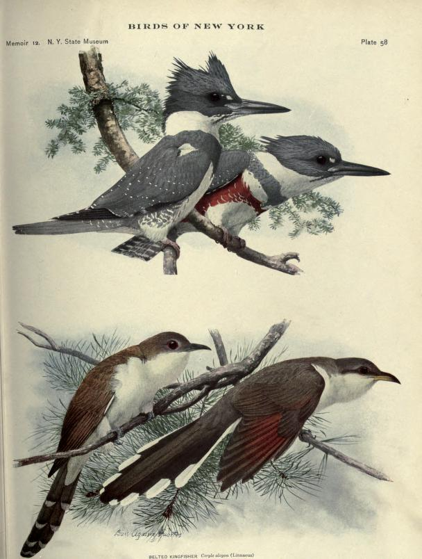 color illustration of birds; top part is pair of belted kingfishers perched together on a branch, male in front, female behind; bottom part is a black-billed cuckoo and a yellow-billed cuckoo.